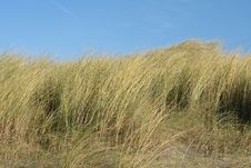 Free Vegetation In The Dutch Dunes Royalty Free Stock Photos - 20651168
