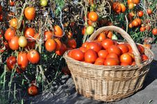 Free Tomatoes Harvest Royalty Free Stock Photography - 20652127