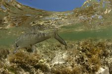 Free Bonefish Underwater Detail Shot Royalty Free Stock Photos - 20652258