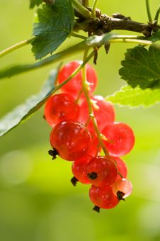 Free Currant Stock Photography - 20653162