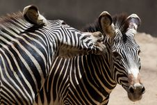 Free Fighting Zebras Royalty Free Stock Photography - 20653197