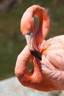 Free Close Up Portrait Of Flamingo Stock Photos - 20653223