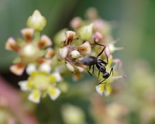 Free Black Ant Royalty Free Stock Photos - 20653408