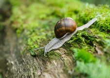 Snail In The Nature Royalty Free Stock Images
