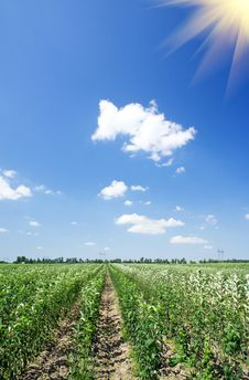 Free Panoramic View Of Young Apple Orchard And Blue Sky Royalty Free Stock Photography - 20653907