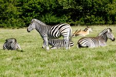 Free Group Of Zebras Royalty Free Stock Photos - 20654088