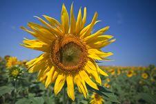 Free Sunflower Stock Photos - 20655453