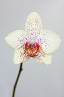 Free Orchid Flower Stock Photography - 20656622