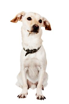Free Sitting Pretty Dog On White Royalty Free Stock Photos - 20656738