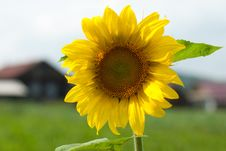 Free Sunflower Stock Images - 20656874