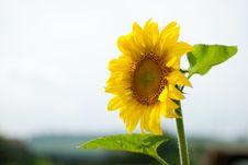 Free Sunflower Stock Photo - 20656910