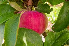 Free Apple On The Tree Stock Photography - 20657022