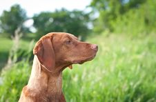 Free Closeup Portrait Of A Vizsla Dog With Wildflowers Stock Photography - 20657372