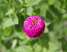 Free Single Flower Of Zinnia Royalty Free Stock Photos - 20657418