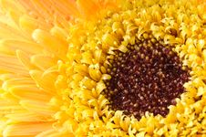 Yellow Daisy-gerbera Royalty Free Stock Images