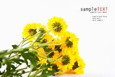 Free Yellow Chrysanthemum Flower Stock Image - 20658911