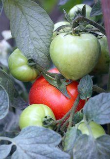 Free Tomatoes Stock Photos - 20659553