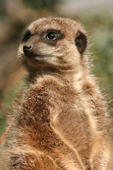 Free Meerkat Standing Stock Photography - 20659612