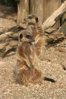 Free Two Meerkats Stock Photo - 20659630