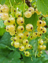 Free White Currant Royalty Free Stock Image - 20661736