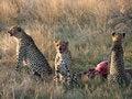 Free Cheetahs Feeding Stock Images - 20663024