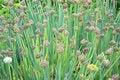 Free Onion Royalty Free Stock Photos - 20666278