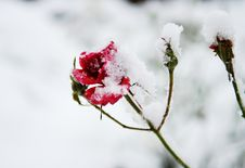 Free Frozen Red Roses Under The Snow Stock Photo - 20660380
