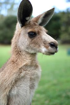 Free Kangaroo Under A Afternoon Sky Stock Images - 20661304
