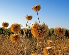 Free Thistles Stock Image - 20661361