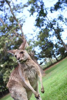 Free Kangaroo Under A Afternoon Sky Royalty Free Stock Photos - 20661408