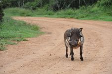 Warthog Walking Down A Gravel Road Alone Stock Photo
