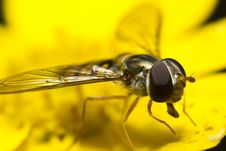 Free Hoverfly On Yellow Blossom Stock Photography - 20661832