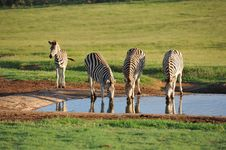 Free Burchells Zebras At Waterhole Early Morning Stock Photo - 20661940