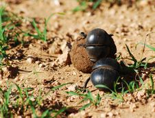 Free Flightless Dung Beetle Rolling Ball Stock Photo - 20661960