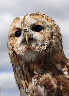 Free Tawny Owl (Strix Aluco) Stock Images - 20662144