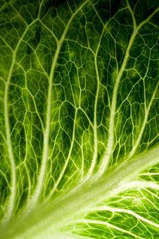 Free Leaf Veins Royalty Free Stock Photos - 20662168