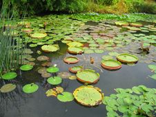 Free Water Lilies In Pond Stock Photography - 20662422