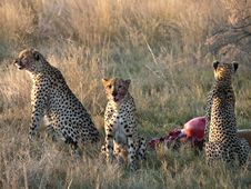 Free Cheetahs Feeding Stock Images - 20663024
