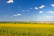 Free Field Of Sunflowers Stock Images - 20664524