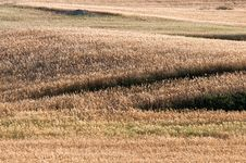 Free Wheat Field Royalty Free Stock Photography - 20664567