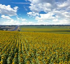 Free Field Of Sunflowers Stock Photos - 20664603
