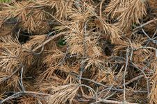 Dried Pine Branches Stock Photos