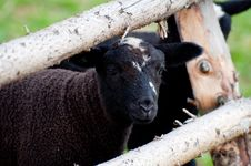 Free Cute Lamb Stock Image - 20665041