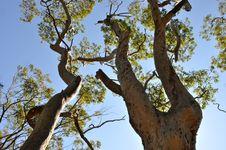Free Trees Skyward Stock Photos - 20667133