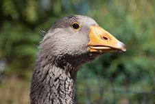 Free Goose Head Stock Image - 20667291