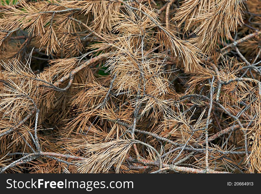 Dried pine branches