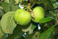 Free Two Green Apples On The Apple Tree Royalty Free Stock Photos - 20672928