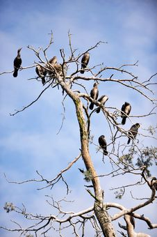 Free Cormorants Roosting Stock Photo - 20672380