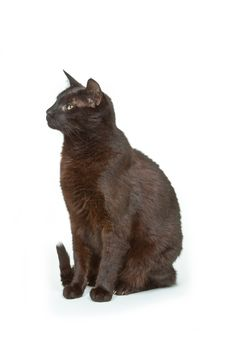 Tomcat Royalty Free Stock Image