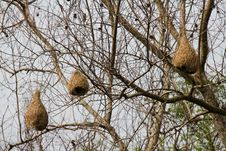 Free Weaver Bird Nests Stock Photography - 20673412